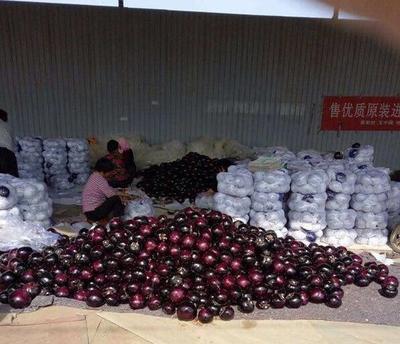 山东省聊城市莘县黑圆茄 圆茄 40cm以上 圆茄我们最用心的服务