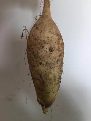 浙江省杭州市上城区白萝卜 0.2斤以下