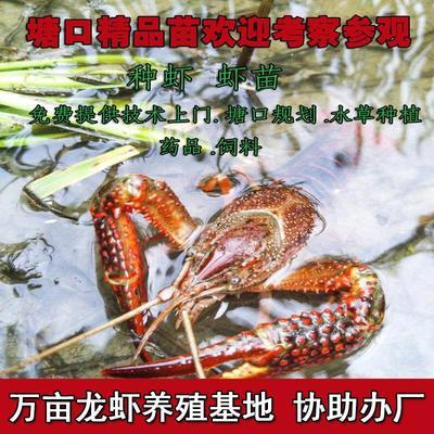 江苏省宿迁市泗阳县小龙虾苗