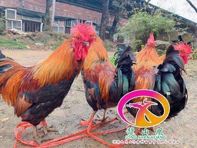 广东省广州市白云区青脚红羽鸡苗