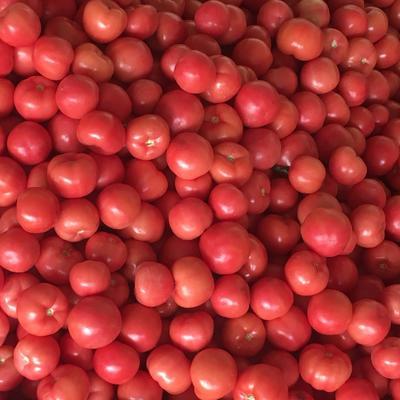 山东省菏泽市定陶县硬粉番茄 弧三以上 硬粉 精品