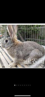 吉林省延边朝鲜族自治州敦化市比利时兔 3-5斤