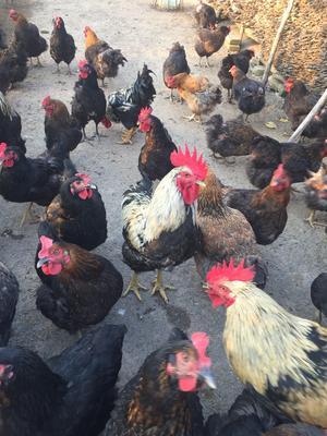 湖南省长沙市天心区土鸡 4-5斤 母