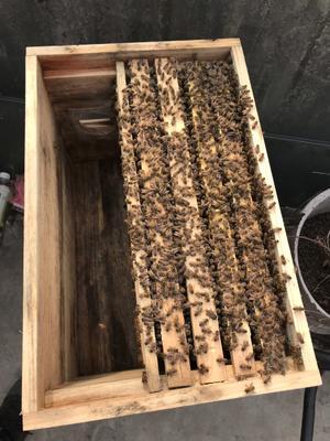 广东省东莞市东莞市中华蜜蜂 四脾强群带箱450