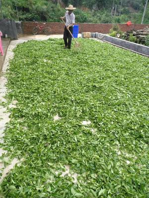 广东省梅州市兴宁市茶青 散装 特级