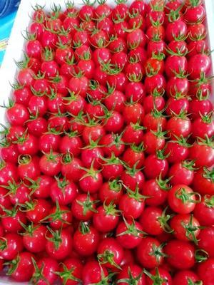 山东省聊城市莘县圆粉圣女果 莘县最靠谱的蔬菜市场