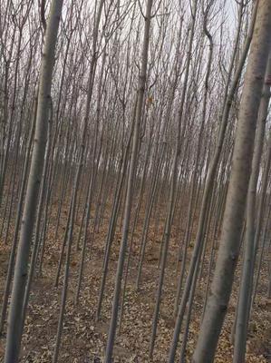 山东省枣庄市山亭区速生白蜡 3~3.5米