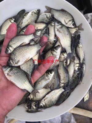 广东省广州市白云区中科三号鲫鱼 人工养殖 0.05公斤