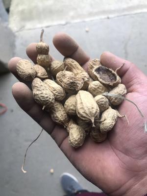 湖北省荆门市东宝区带壳花生 带壳花生 干货