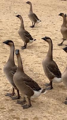 广东省佛山市南海区黑棕鹅 8-10斤 全散养 棚鹅