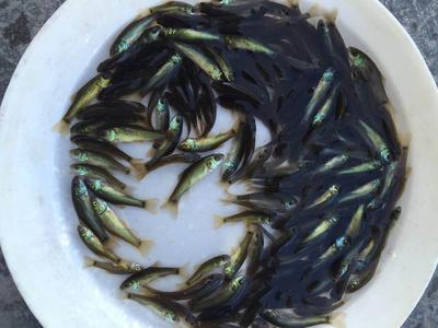 广东省广州市白云区丁桂鱼 人工养殖 0.05公斤