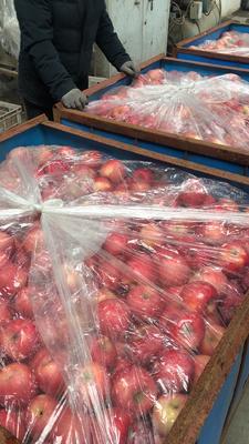 山东省烟台市招远市红富士苹果 80mm以上 统货 纸袋