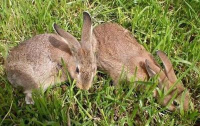 贵州省铜仁市万山区野兔 5斤以上