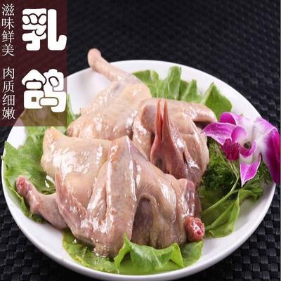 广东省佛山市南海区乳鸽 新鲜