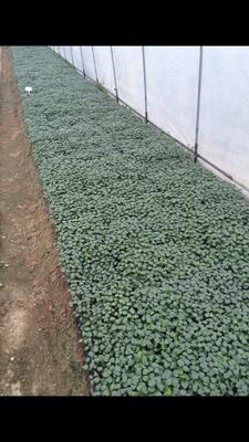 福建省漳州市龙海市水果秋葵种子 杂交种