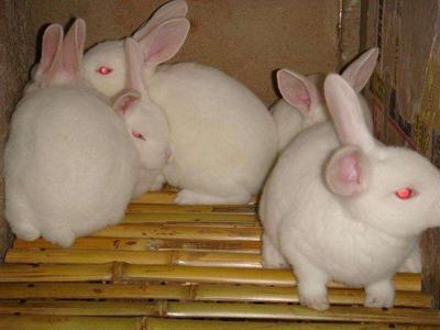 山东省枣庄市滕州市新西兰兔 3-5斤