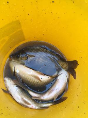 重庆长寿区池塘鲫鱼 0.25-1公斤 人工养殖