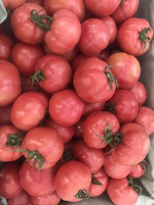 陕西省渭南市华县普罗旺斯番茄 精品 弧二以上 硬粉