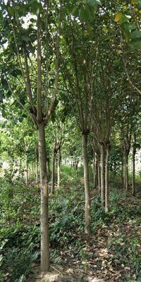 广西壮族自治区柳州市鱼峰区宫粉紫荆树