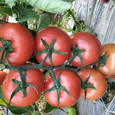 四川省攀枝花市米易县粉果番茄 硬粉 弧二以上 精品