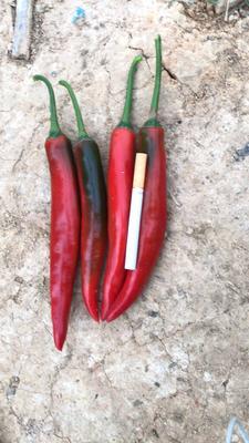 云南省西双版纳傣族自治州景洪市海花红辣椒 5~10cm 微辣 红色