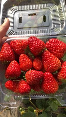 这是一张关于红颜草莓 20克以下 的产品图片