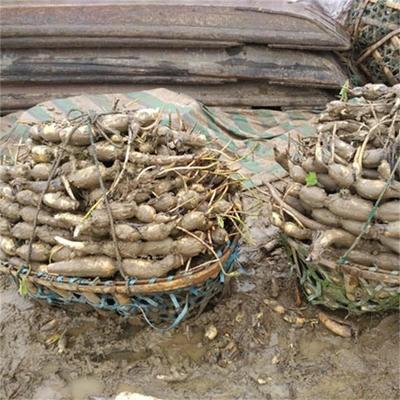 这是一张关于太空莲36号藕种 泥藕 的产品图片