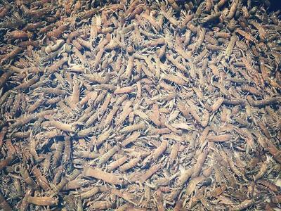 这是一张关于澳洲淡水小龙虾苗 的产品图片