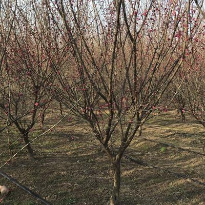 这是一张关于红梅 的产品图片