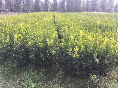 这是一张关于耙耙柑桔苗 嫁接苗 0.5~1米 的产品图片