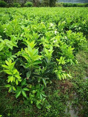 这是一张关于纽荷尔脐橙苗 嫁接苗 0.5米以下 的产品图片
