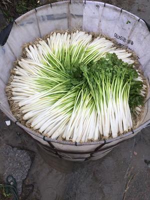 上海浦东新区早熟水芹 40cm以下