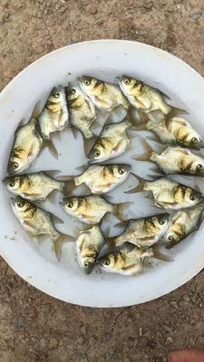 这是一张关于缩骨大头鱼苗 的产品图片