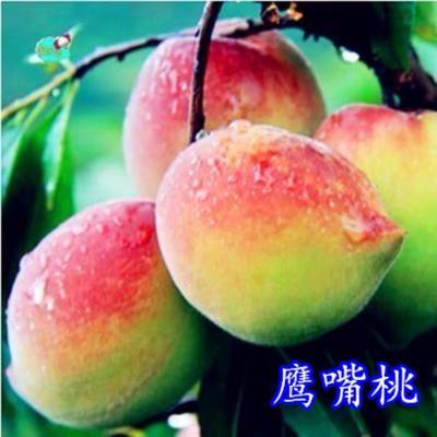 山东省临沂市平邑县鹰嘴蜜桃苗 1.5~2.0米