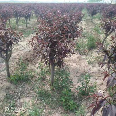 这是一张关于红叶碧桃 的产品图片