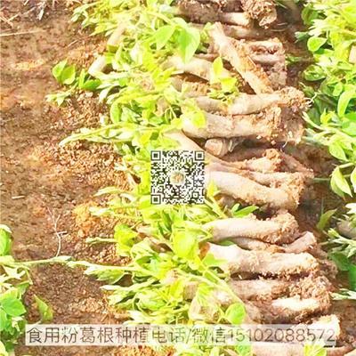 广西壮族自治区梧州市藤县食用葛 亩产5000斤
