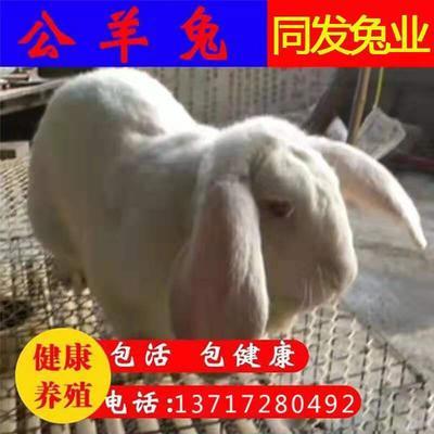 广东省江门市恩平市公羊兔 1斤以下
