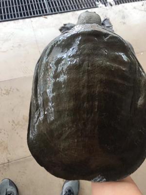 广东省广州市从化区外塘甲鱼