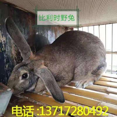 广东省江门市恩平市比利时兔 1斤以下