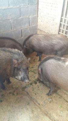 云南省大理白族自治州弥渡县特种野猪 80斤以上 统货