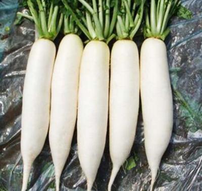 贵州省安顺市普定县白萝卜 1.5~2斤
