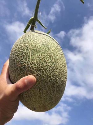 云南省昆明市官渡区西州蜜 2斤以上