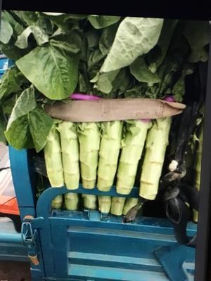 山东省临沂市兰陵县青皮香莴笋 1.0~1.5斤 40-50cm