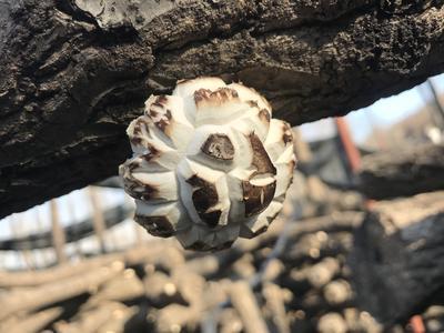 河南省南阳市方城县椴木菇 1年以上 散装