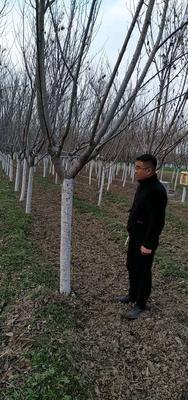 陕西省西安市周至县晚樱 3~3.5米 10~12公分
