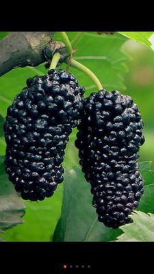 无籽大十果桑苗 四季果桑,甜无酸味当种当年结果