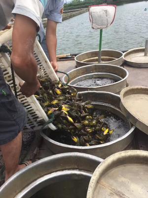四川省眉山市东坡区杂交黄骨鱼 0.05公斤 人工殖养