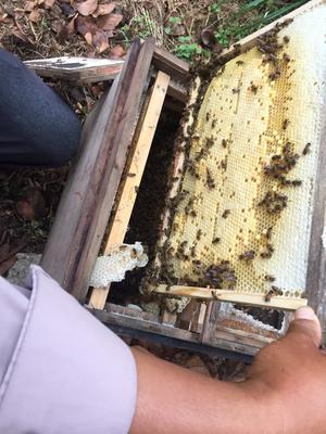 广西壮族自治区玉林市北流市中华蜜蜂