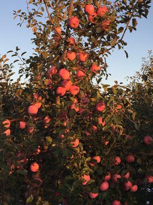 山东省烟台市海阳市栖霞苹果 75mm以上 片红 纸袋