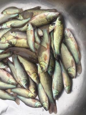 四川省眉山市东坡区丁桂鱼 0.05公斤 人工养殖